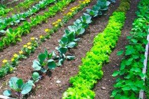 straight-row-garden